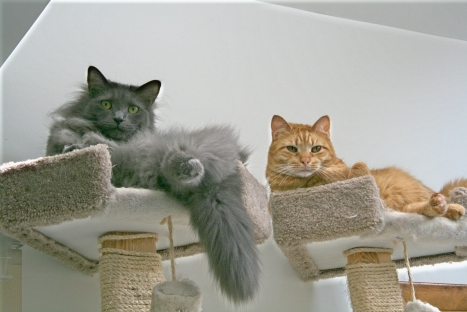 Purrfect (gray) and Zack (orange) up in my 8 ft tall cat tree