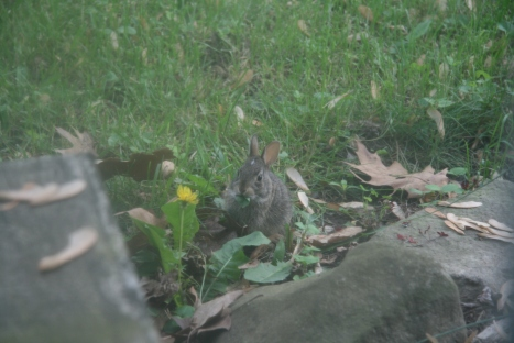 Jinx, the baby bunny who lives in my yard
