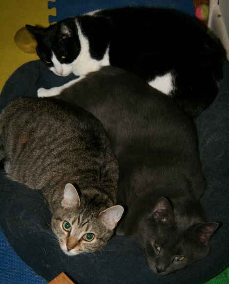 Robyn (tabby), Kirby (black & white) and Little Al (gray)