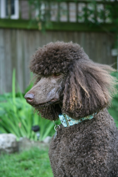 Joey looks very serious here...  LOL...  he's a silly Poodle